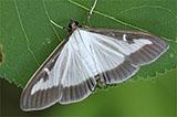 papillon-pyrale-du-buis